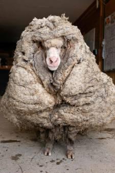 Un mouton délesté de son pelage de 35 kilos