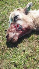 Schapen van Jimmy Kemink worden de dood ingejaagd door loslopende honden.