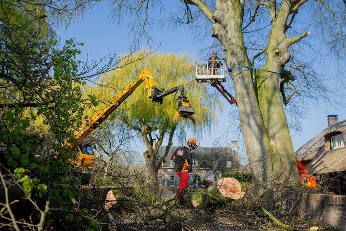 Aan het Kasteelpad in Druten gaat een 350 jarige boom in delen tegen de vlakte.