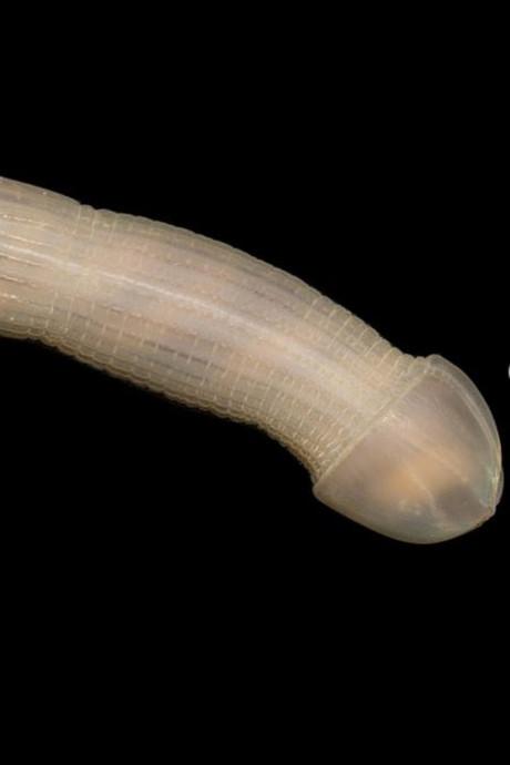In zee ontdekte 'pindaworm' trekt de aandacht