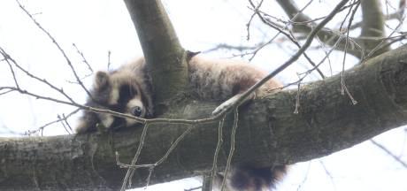 Nieuwsoverzicht   Wasbeer duikt op in boom in Vught - Twintig arrestaties bij demonstratie Extinction Rebellion