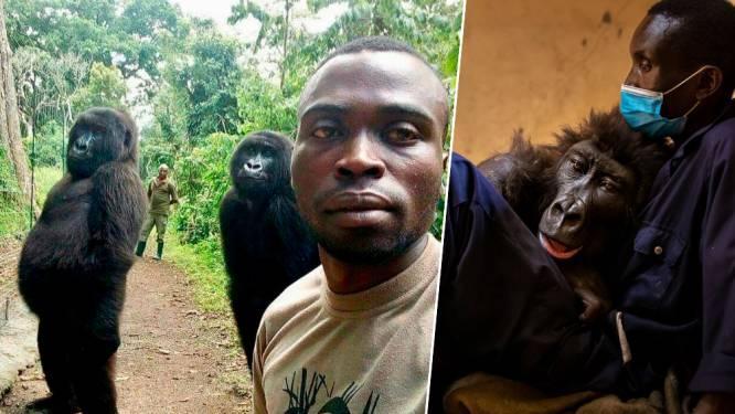 Bekende gorilla uit selfie die de wereld rondging, sterft in armen van verzorger