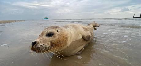 Zeehond rust uit van tocht op strand in 's-Gravenzande
