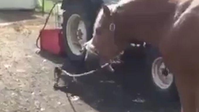 VIRAL3: Chihuahua gaat wandelen met paard aan de leiband