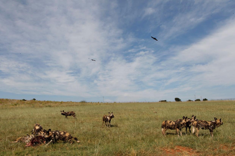 Een roedel wilde honden in Zuid-Afrika.