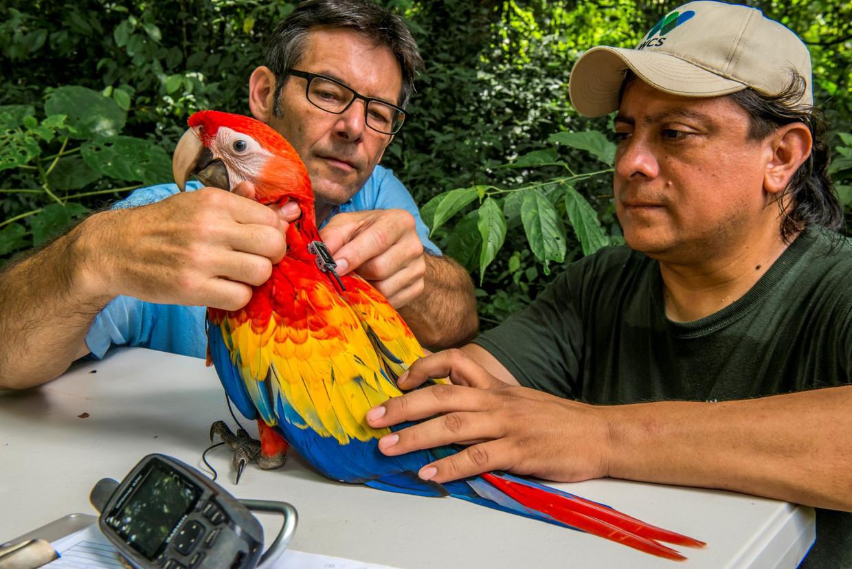 Directeur Martin Wikelski (links) van het Max Planck Instituut voor diergedrag plaatst een Icarus-zender bij een                            papegaai in Guatemala. Beeld Icarus/ Sergio Izquierdo