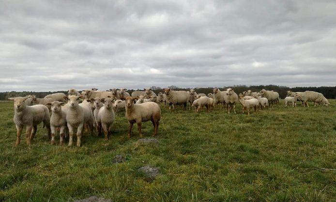 De schapen werden vermoedelijk aangevallen door een of meerdere loslopende honden.