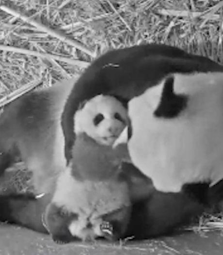 Pandajong Fan Xing zet eerste stapjes in Ouwehands Dierenpark