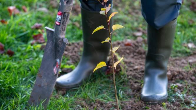 Eerste 950 Gordelbomen geplant in Vlaamse Rand, volgende weken volgen er nog 6.650 bomen