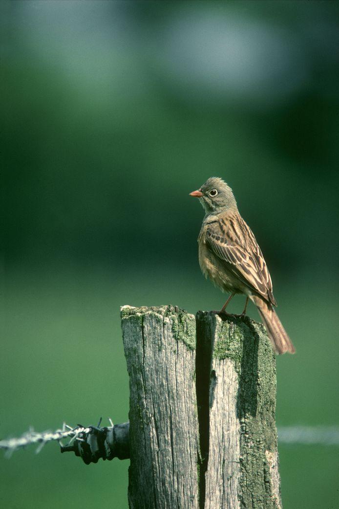 De ortolaan is in Oost-Nederland uitgestorven. De laatste broedvogels werden gezien op een graanveld in Winterswijk.