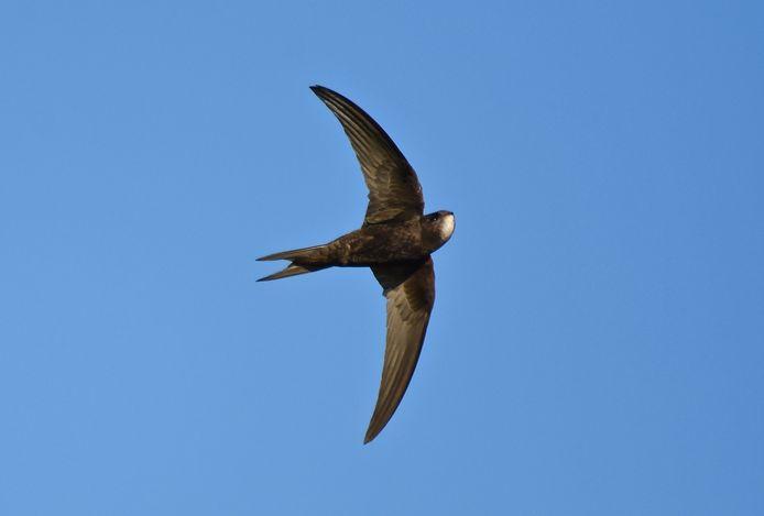 Gierzwaluw jagend Foto Hennie Gunnink