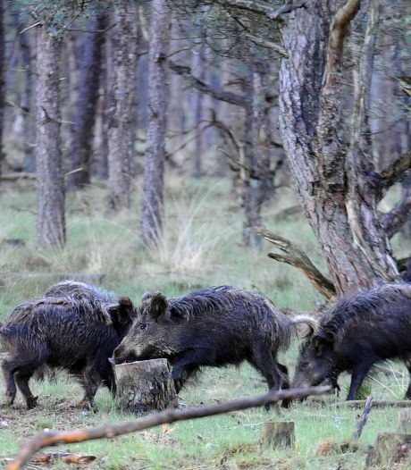 Brabantse jagers mogen 's nachts op wilde zwijnen schieten: 'Het is pure noodzaak'
