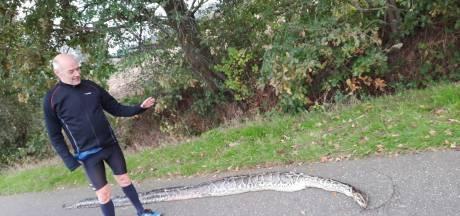 Wandelaar vindt 4 meter lange dode python langs de weg in Etten-Leur: 'Ik ben blij dat het geen mens was'