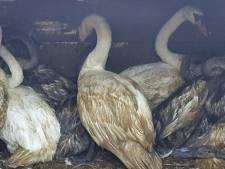 Mogelijk rechtszaak tegen viertal dat illegaal zwanen zou hebben verhandeld