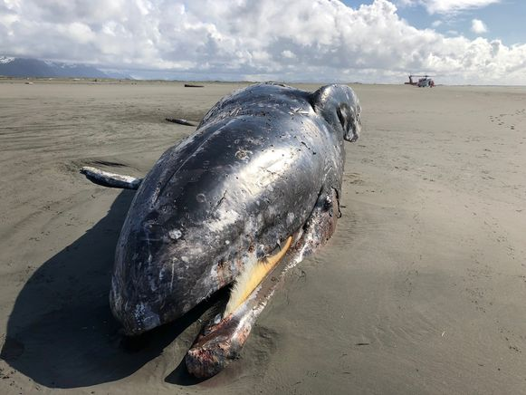 Archieffoto: een van de eerdere walvissen die aanspoelde in Alaska.