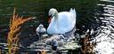 De zwanenjonkies in Vught verloren begin deze maand het leven. Nu zijn ook hun ouders erg ziek.