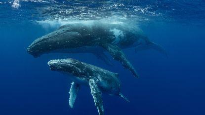 Wetenschappers maken zich op voor grootste expeditie ooit om walvisontlasting te onderzoeken. Dit is waarom