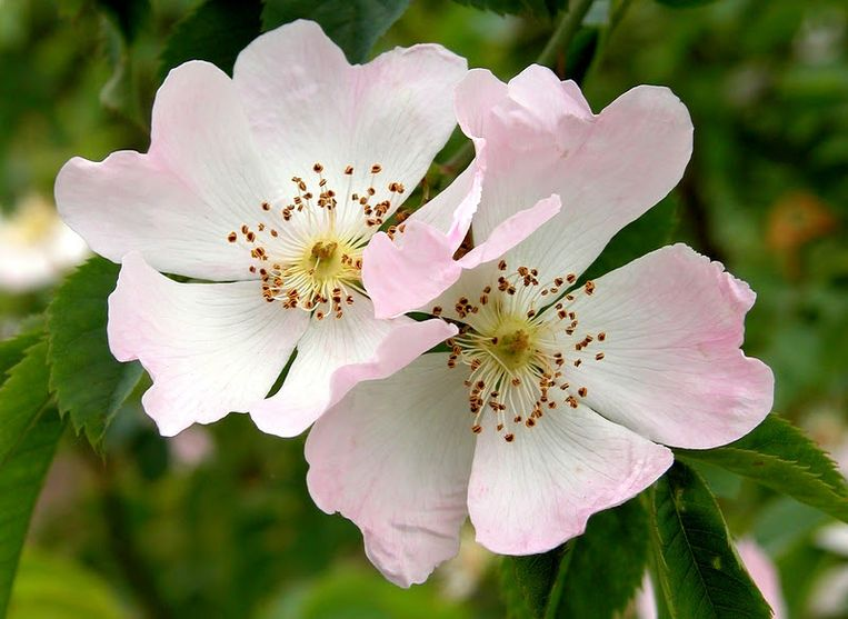 Sommige rozenplanten staan al in bloei.