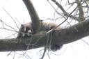 De slapende wasbeer in een boom in Vught staat op de lijst van te bestrijden dieren die van nature niet in Nederland voorkomen en schadelijk zijn voor de natuur.