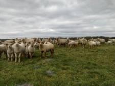 Bloedbad in schapenwei: zeven dode en 21 gewonde schapen op Kalmthoutse Heide