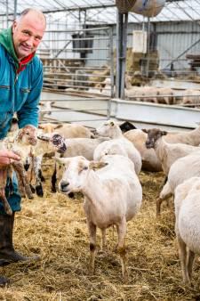Gaan deze schapen onze huizen straks lekker warm houden?