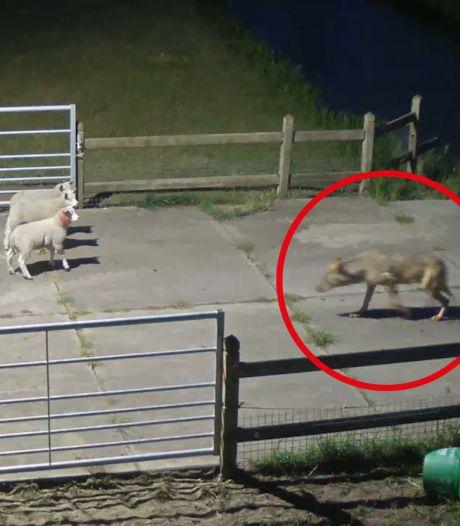 Wolven doodden recordaantal schapen in Nederland: deze 7 waren de boosdoeners