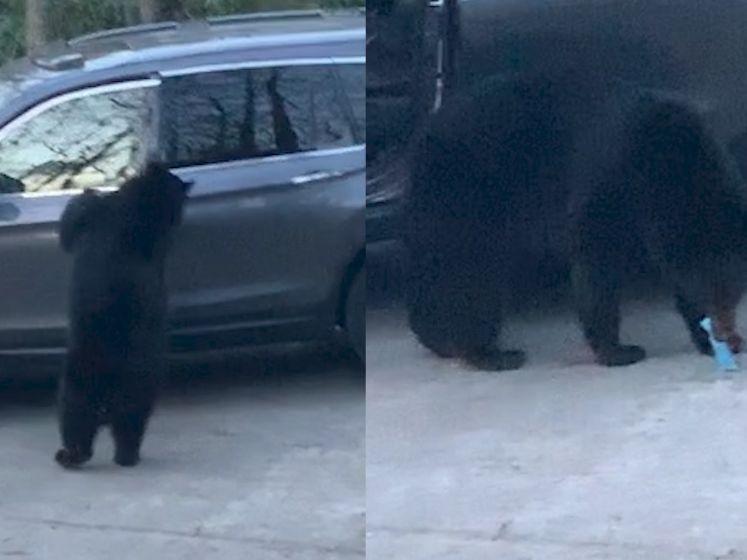Hongerige beer steelt zakje snoep uit auto