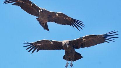 Tientallen condors vergiftigd in Andesgebergte