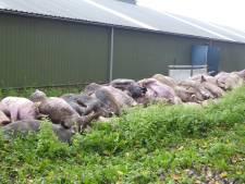 Tientallen varkens stikken na 'heel veel pech' in Heeswijk-Dinther
