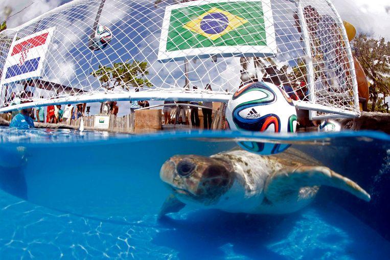 Schildpad Cabecao, ook wel Big Head genoemd. Deze schildpad is het Braziliaanse antwoord op octopus Paul. Cabecao voorspelde dat Brazilië zal winnen van Kroatië. Beeld AP