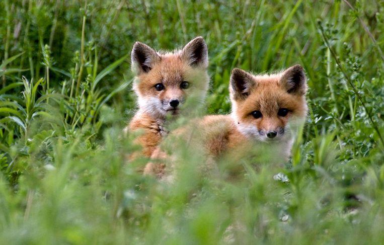 Twee jonge vossen. Beeld ap