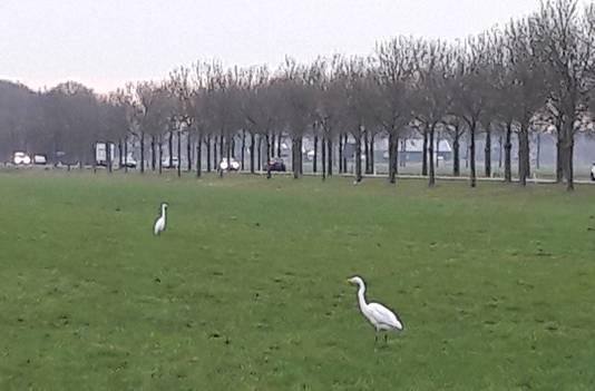 Zilverreigers in de wei langs de Schoenaker in Beuningen.