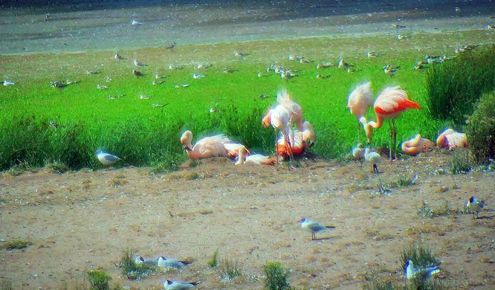Beelden van de wildcamera op het flamingo-eiland in het Zwillbrocker Venn, vlak over de grens bij Groenlo en Winterswijk.