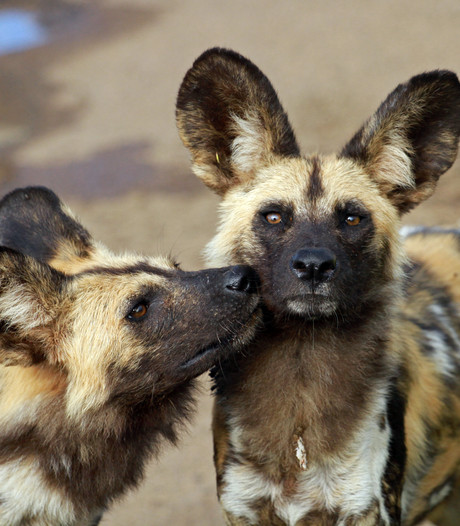 Hyenahonden hebben eigen stemsysteem: niezen betekent vóór