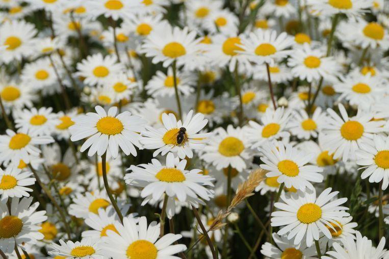 De bloemenweide aan de Keuneleute is nu al een thuis geworden voor heel veel bijen