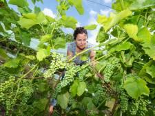 Aanhoudende hitte in Zoetermeer, maar 'de druiven groeien best'