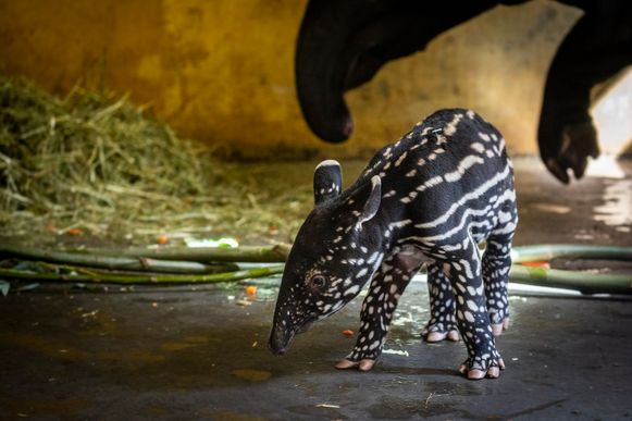 Kleine tapir geboren in ZOO