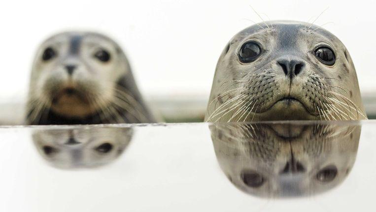 Onder meer de gewone zeehond is ernstig bedreigd in ons land.