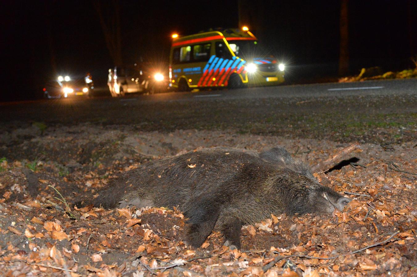 Het aantal aanrijdingen met wild neemt toe. Hier is een zwijn aangereden bij Radio Kootwijk.