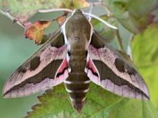 Deze zeldzame vlinder duikt op in de regio Rotterdam, maar wie 'm wil zien, moet snel zijn