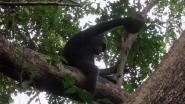 Wetenschappers onder de indruk: chimpansees slaan schilden schildpadden stuk om ze op te eten