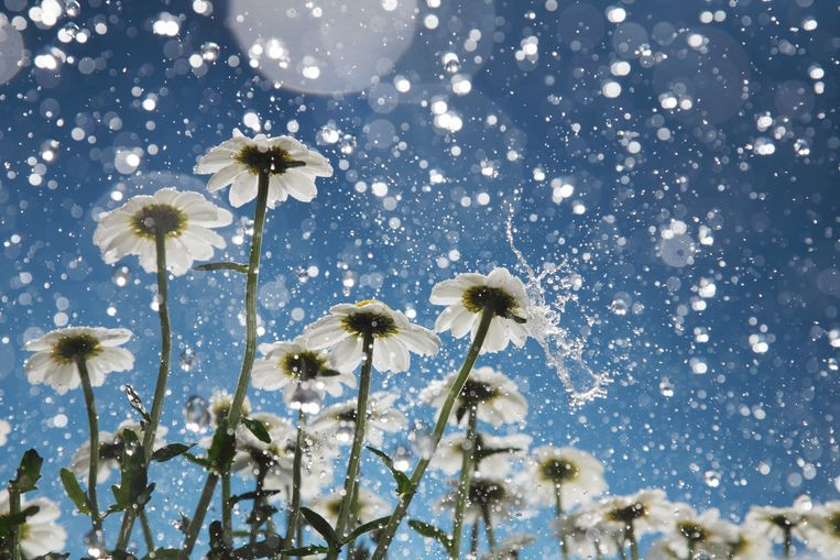 Daisies in a heavy rain. Beeld Getty Images