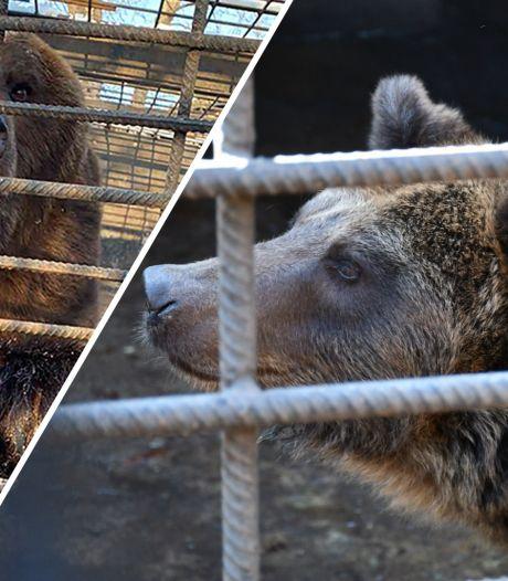 Halve ton voor komst verwaarloosde beren is binnen, Berenbos wil nu ook dier weghalen bij privé-eigenaar