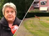 Bewoners Tilburgs hofje zitten met ree in de maag: 'Als 'ie de straat over gaat rijden ze hem dood'