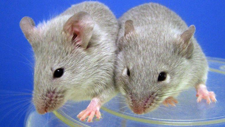Muizen in een lab Beeld null