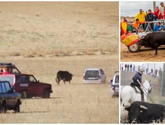 Barbaars: stieren opgejaagd door Spanjaarden in auto's