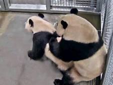 Chinese dierenartsen voorlopig niet op bezoek bij mogelijk zwangere panda in Ouwehands