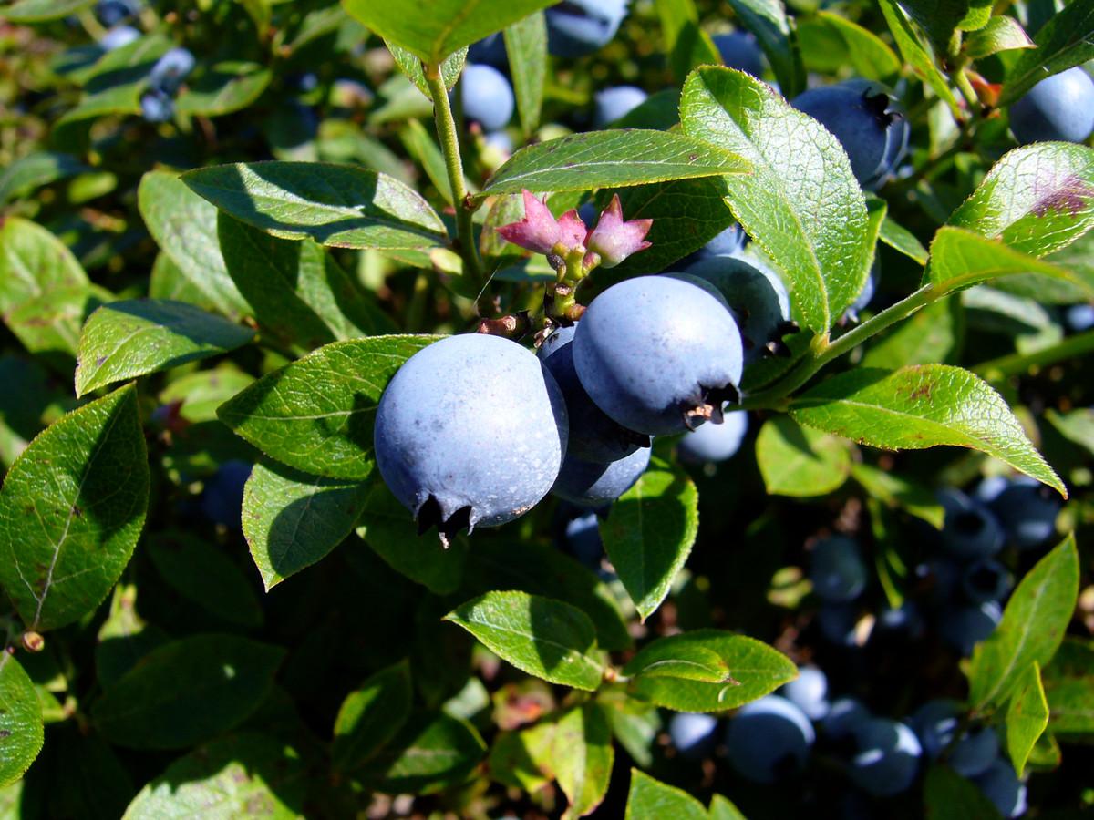 De trosbosbes blijkt een lastig te bestrijden plant. De pitjes van de bes worden verspreid door vogels die de vruchten eten.
