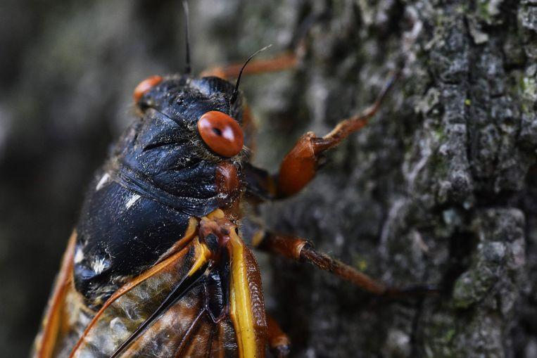Een cicade op een eikenboom. Gelukkig is er na het lezen van Dave Goulsons 272 pagina's dikke boek 'Stille aarde' nog hoop. Het is nog niet te laat, als we de kriebelbeesten maar ruimte geven Beeld AFP