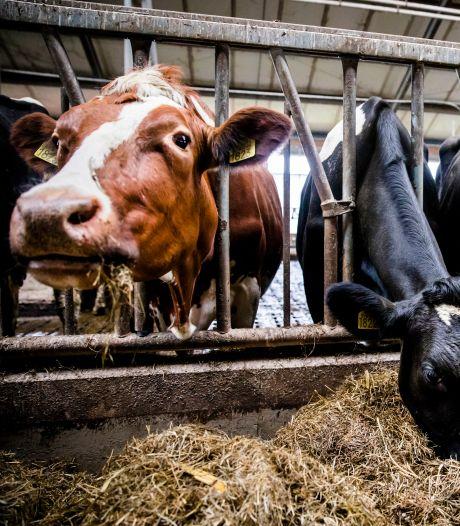 De meeste indruk maakte de hand van de buurman, die tot aan zijn oksel in de koe verdween